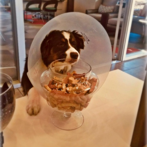 """""""This cone will not stop me from getting all of the treats"""" -Sydney, our most determined furry resident. • • • • #petfriendly #liveatcircauptown #cuatcircauptown #uptowncharlotte"""